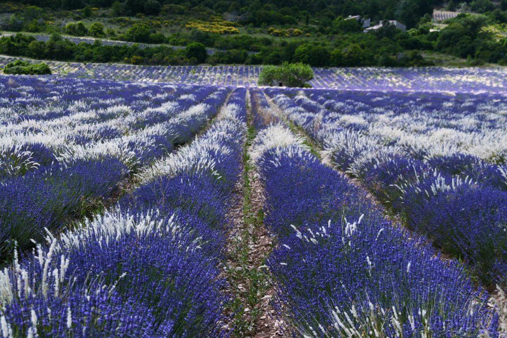 Champs de lavande à Sault en Provence proche de Au coin des figuiers chambres d'hôtes